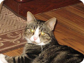 Domestic Shorthair Cat for adoption in Richfield, Ohio - Bella