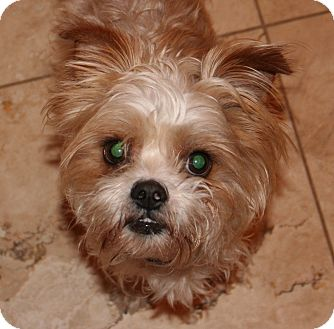 Yorkie, Yorkshire Terrier/Poodle (Miniature) Mix Dog for adoption in Scottsdale, Arizona - Chewy