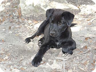Dutch Shepherd/Labrador Retriever Mix Puppy for adoption in New Braunfels, Texas - Zeus