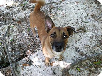 Corgi/Shepherd (Unknown Type) Mix Dog for adoption in Wilmington, North Carolina - SHORTY