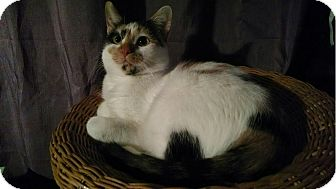 Calico Cat for adoption in Davison, Michigan - Guido