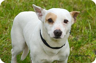 Jack Russell Terrier/Chihuahua Mix Dog for adoption in Woodbury, New Jersey - Ricky