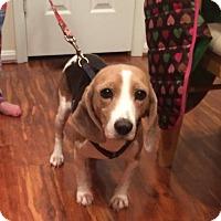 Adopt A Pet :: Trixie - Manassas, VA
