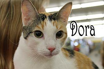 Domestic Shorthair Cat for adoption in Wichita Falls, Texas - Dora