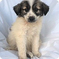 Adopt A Pet :: Boris - Mooresville, NC