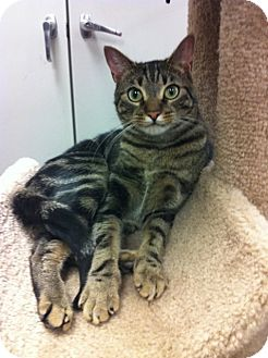 Domestic Shorthair Cat for adoption in Warminster, Pennsylvania - Percy