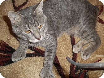 Polydactyl/Hemingway Cat for adoption in Witter, Arkansas - PETER (Bobtail Polydactyl)