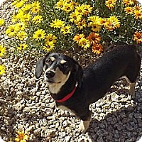 Adopt A Pet :: Priscilla - Phoenix, AZ