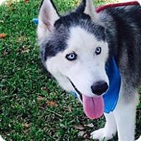 Adopt A Pet :: Lakota - Clearwater, FL