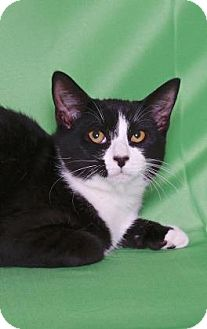 Domestic Shorthair Cat for adoption in Gloucester, Virginia - THE GREAT GAZOO