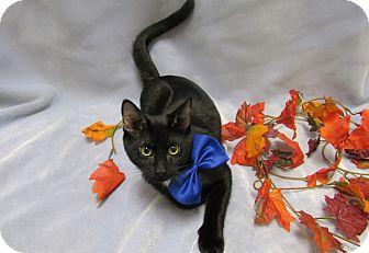 Domestic Shorthair Kitten for adoption in Lexington, North Carolina - JETT