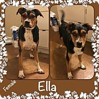 Adopt A Pet :: Ella meet me 2/3 - Manchester, CT