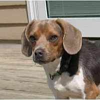 Beagle Mix Dog for adoption in Blairstown, New Jersey - Maverick