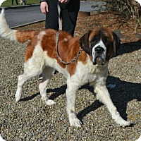 St. Bernard Mix Dog for adoption in Akron, Ohio - Miley