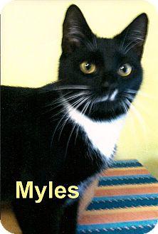 Domestic Shorthair Cat for adoption in Medway, Massachusetts - Myles