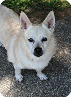 Corgi/Chihuahua Mix Dog for adoption in Muskegon, Michigan - Thatcher