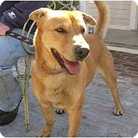 Adopt A Pet :: Star - Encino, CA