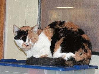 Domestic Shorthair Cat for adoption in Golden Valley, Arizona - Patches