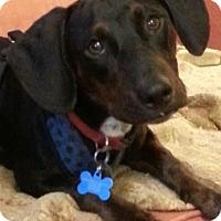 Adopt A Pet :: Schwarz - Pinellas Park, FL