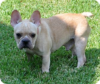 Adopt french bulldog texas