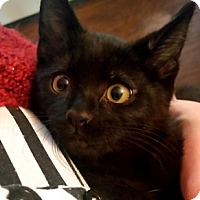 Adopt A Pet :: TeddyBear - North Highlands, CA