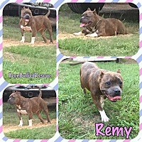 American Pit Bull Terrier/Staffordshire Bull Terrier Mix Dog for adoption in Montgomery, Texas - Remy