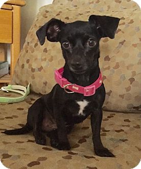 Dachshund/Feist Mix Dog for adoption in Santa Ana, California - Winifred (BH)