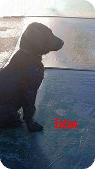 Labrador Retriever Mix Puppy for adoption in Brunswick, Maine - Eutaw