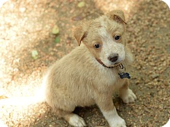 Border Collie Mix Puppy for adoption in San Antonio, Texas - Leonard