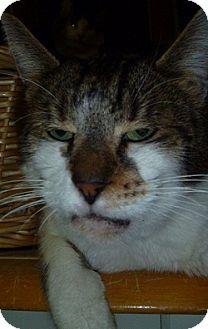 Domestic Shorthair Cat for adoption in Hamburg, New York - Tiger Boy