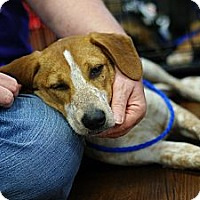 Adopt A Pet :: Toby - Pocahontas, AR