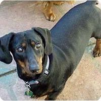 Adopt A Pet :: Stevie - San Jose, CA