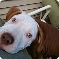 Adopt A Pet :: Willa - bridgeport, CT