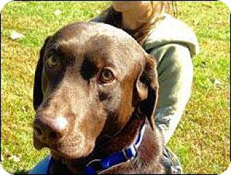 Labrador Retriever Dog for adoption in New Milford, Connecticut - Adam