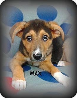 Shepherd (Unknown Type) Mix Puppy for adoption in Princeton, Kentucky - Max