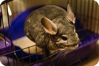 Chinchilla for adoption in Granby, Connecticut - Marcy