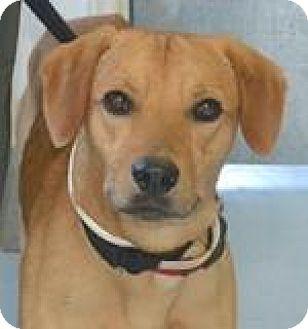 Labrador Retriever Mix Dog for adoption in Sharon, Connecticut - Jack