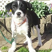 Adopt A Pet :: Steffie - West Chicago, IL