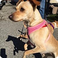 Adopt A Pet :: Amelia - Fallbrook, CA