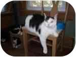 Domestic Shorthair Cat for adoption in North Boston, New York - Mushie