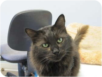 Domestic Longhair Cat for adoption in Modesto, California - Mr. Muffin