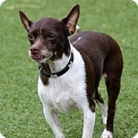 Chihuahua Mix Dog for adoption in Mesa, Arizona - Dori