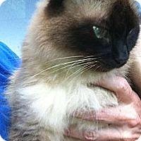 Adopt A Pet :: Miss Priss - Jacksonville, FL