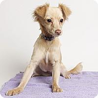 Adopt A Pet :: Lacey - Oakland, CA