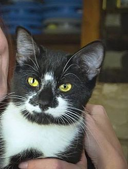 Domestic Shorthair Cat for adoption in House Springs, Missouri - Little Maude