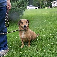 Dachshund/Basset Hound Mix Dog for adoption in Lake Orion, Michigan - Thumper
