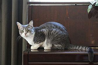 Domestic Shorthair Cat for adoption in Chandler, Arizona - Opal III