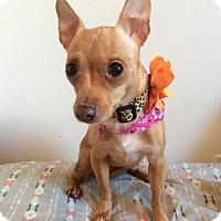 Adopt A Pet :: Rose - Manassas, VA