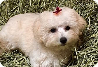 Maltese/Poodle (Miniature) Mix Puppy for adoption in Irvine, California - Tenley