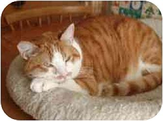 Domestic Shorthair Cat for adoption in Pasadena, California - Gavroche
